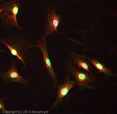 Immunocytochemistry/ Immunofluorescence - Anti-Cryptochrome I/CRY1 antibody (ab104736)