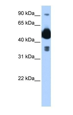 Western blot - Anti-HYPE antibody (ab104763)