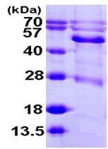 SDS-PAGE - Recombinant Human BCKDHA protein (ab104900)