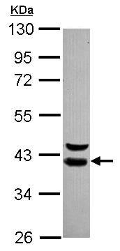 Western blot - Anti-WDR74 antibody (ab105042)