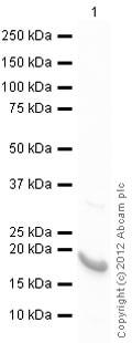 Western blot - Anti-GADD45B antibody (ab105060)
