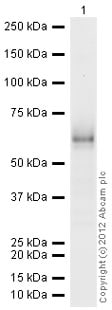 Western blot - Recombinant human HGF protein (ab105061)
