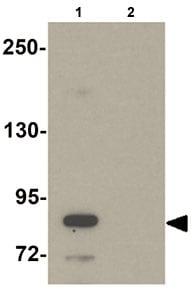 Western blot - Anti-STOX2 antibody (ab105203)