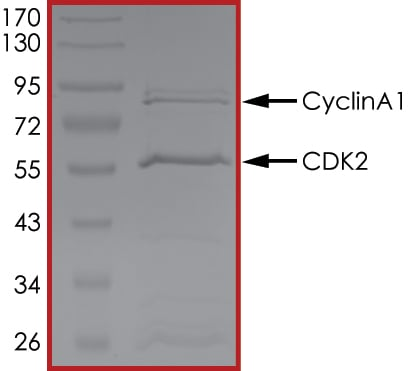 SDS-PAGE - Recombinant human CDK2 + CCNA1 protein (ab105205)
