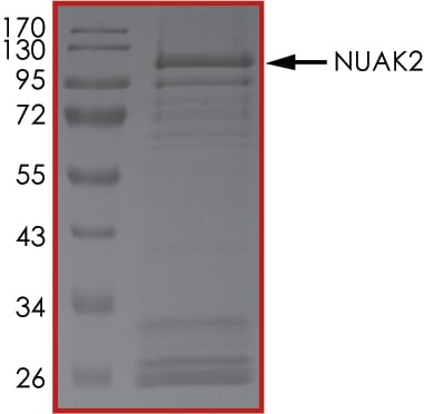 SDS-PAGE - Recombinant human NUAK2 protein (ab105209)