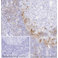 Immunohistochemistry (Frozen sections) - Anti-ICOS antibody [SP98] (ab105227)