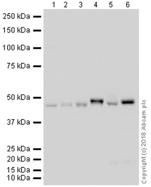 Western blot - Anti-WIPI2 antibody [2A2] (ab105459)