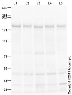 Western blot - Anti-RICTOR antibody (ab105469)