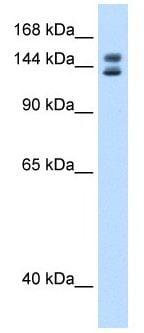 Western blot - Anti-MYBBP1A antibody (ab105538)