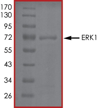 SDS-PAGE - Recombinant human ERK1 protein (ab105904)