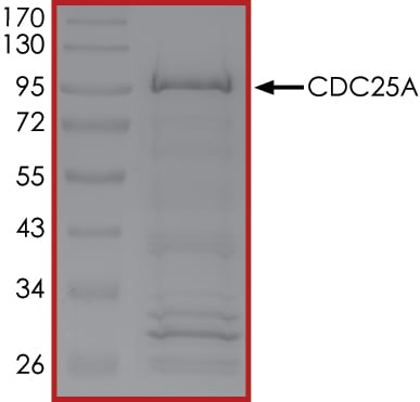 SDS-PAGE - Recombinant human Cdc25A protein (ab105905)
