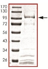 SDS-PAGE - Recombinant human Cdc25B protein (ab105906)