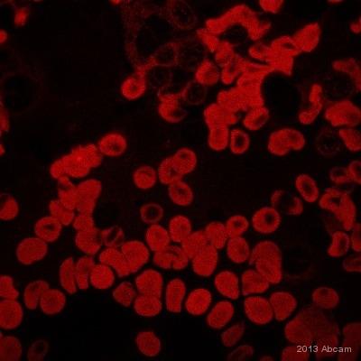 Immunocytochemistry - Anti-GDF15 antibody [7C12.B3.F2] (ab106112)