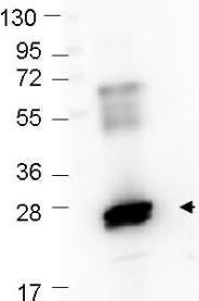 Western blot - FITC Anti-GST antibody (ab106228)