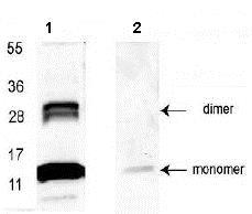 Western blot - HRP Anti-GDF15 antibody (ab106260)