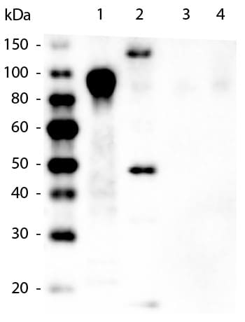 Western blot - Biotin Anti-6X His tag® antibody [33D10.D2] (ab106261)