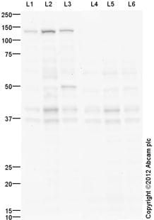 Western blot - Anti-Exonuclease 1 antibody (ab106303)