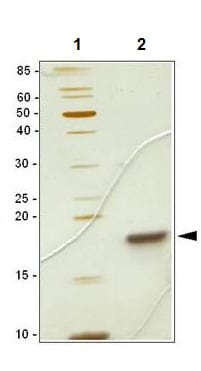 SDS-PAGE - Recombinant mouse SCF protein (ab106309)