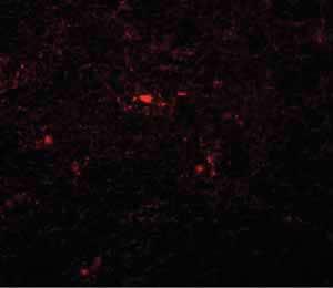 Immunocytochemistry/ Immunofluorescence - Anti-PATT1 antibody (ab106408)