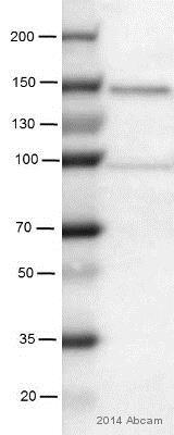 Western blot - Anti-PRDM16 antibody (ab106410)