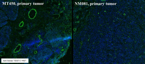Immunohistochemistry (Frozen sections) - Anti-VEGFC antibody [9/E7] (ab106512)