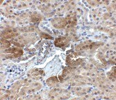 Immunohistochemistry (Formalin/PFA-fixed paraffin-embedded sections) - Anti-PTER antibody (ab106526)