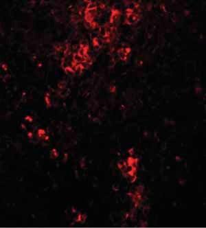 Immunocytochemistry/ Immunofluorescence - Anti-BFAR antibody (ab106547)