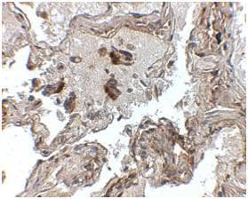Immunohistochemistry (Formalin/PFA-fixed paraffin-embedded sections) - Prealbumin antibody (ab106558)