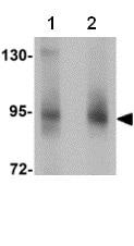 Western blot - Anti-ZBTB5 antibody (ab106562)