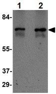 Western blot - Anti-ZBTB7A antibody (ab106592)