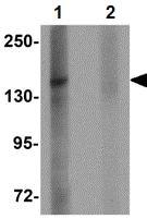 Western blot - Anti-ZMYM1 antibody (ab106623)