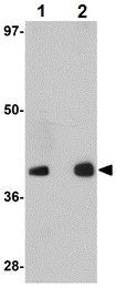 Western blot - GATA3 antibody (ab106625)