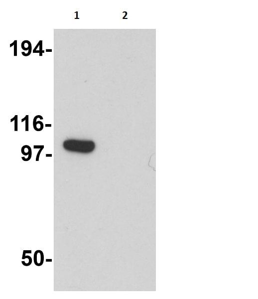 Western blot - Anti-PION antibody (ab106630)