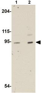 Western blot - Anti-LZTR1 antibody (ab106655)