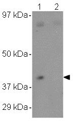 Western blot - Anti-CCDC69 antibody (ab106692)
