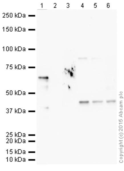 Western blot - Anti-Nkx2.5 antibody (ab106923)