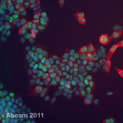 Immunocytochemistry/ Immunofluorescence - Mouse Embryonic Stem Cell Marker Panel (Oct4, Nanog, SOX2, SSEA1) (ab107156)