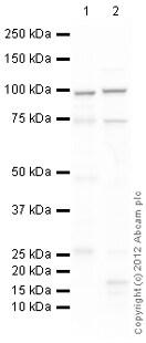 Western blot - Anti-Myocardin antibody (ab107301)