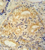 Immunohistochemistry (Formalin/PFA-fixed paraffin-embedded sections) - Anti-C16orf13 antibody (ab107610)