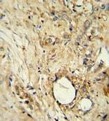 Immunohistochemistry (Formalin/PFA-fixed paraffin-embedded sections) - Anti-ITIH5 antibody (ab107846)
