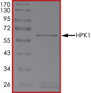 SDS-PAGE - Recombinant human MAP4K1/HPK1 protein (ab107953)