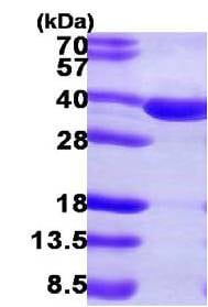 SDS-PAGE - Recombinant Human SULT2A1/ST2 protein (ab108128)