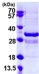 SDS-PAGE - Recombinant Human SYT1 protein (ab108130)