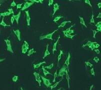 Immunocytochemistry/ Immunofluorescence - Anti-Annexin V/ANXA5 antibody [EPR3980] (ab108194)