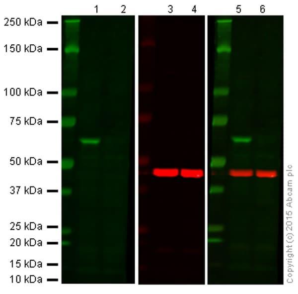 Western blot - Anti-AKT1 antibody [M1843] (ab108202)