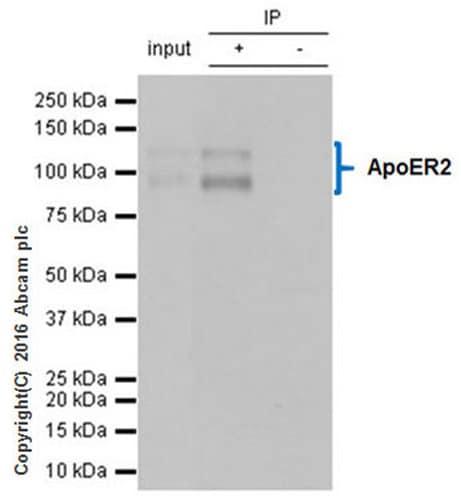 Immunoprecipitation - Anti-ApoER2 antibody [EPR3326] (ab108208)