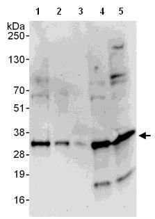 Western blot - Anti-Density Regulated Protein antibody (ab108221)