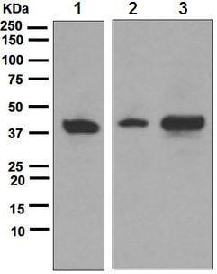Western blot - Anti-ATG3 antibody [EPR4802] (ab108282)