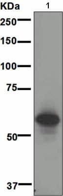 Western blot - Anti-CD147 antibody [EPR4053] (ab108308)