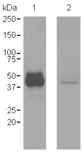 Western blot - Anti-CD1a antibody [EP3622] (ab108309)